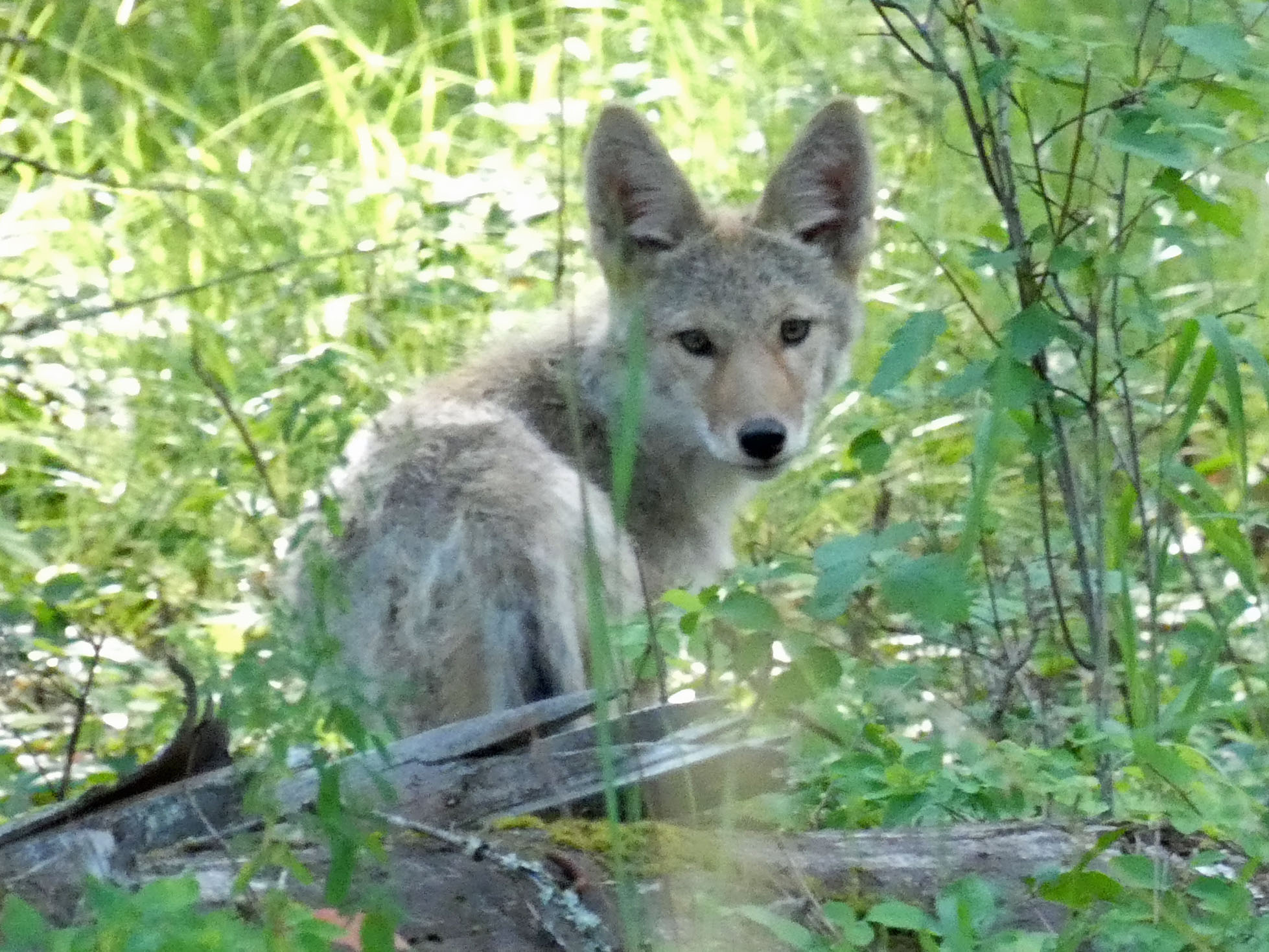 This image has an empty alt attribute; its file name is young-coyote.jpg